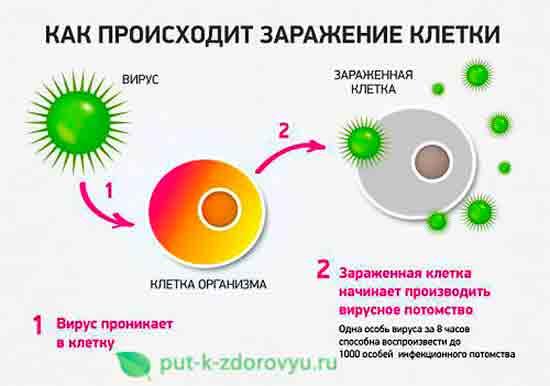 Как происходит заражение клетки?