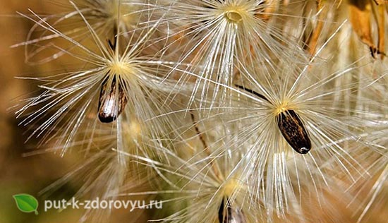Семена расторопши.