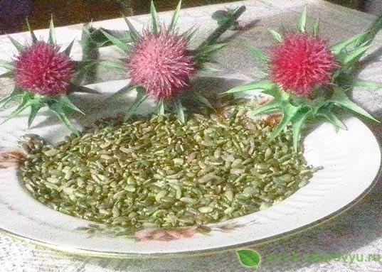 Цветы и семена расторопши.