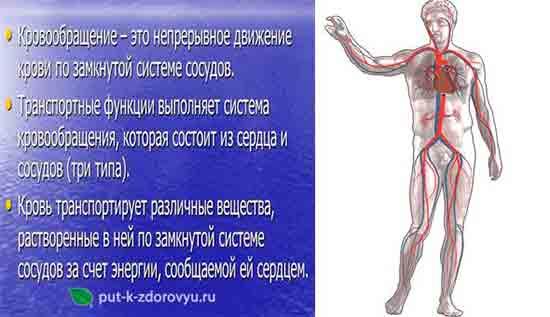 Sistema_krovoobrascheniya_cheloveka