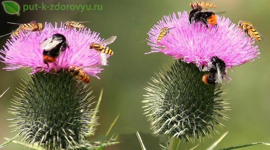 Пчёлки любят расторопшу
