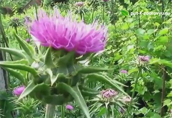Расторопша цветёт