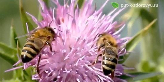 Пчёлки любят расторопшу.