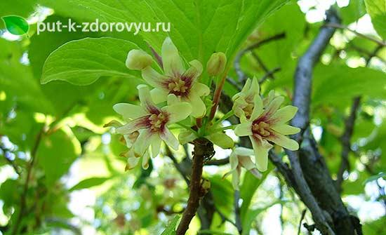 Настойка из цветков лимонника.