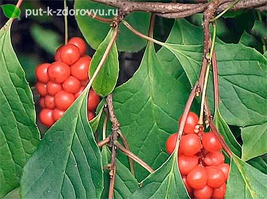 Основные свойства и пищевая ценность китайского лимонника.
