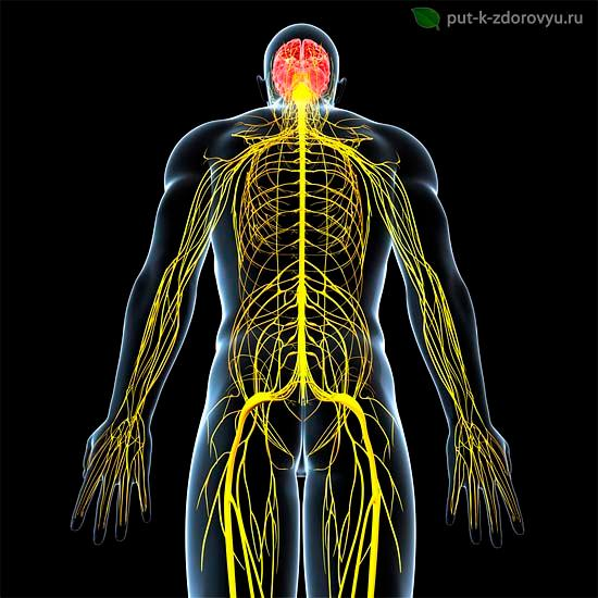 Нервная система человека.