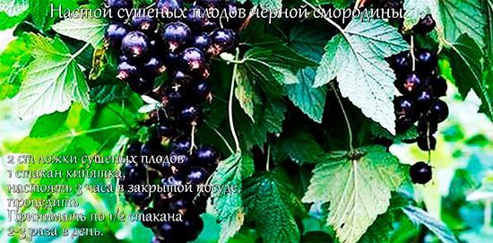 Настой сушеных ягод черной смородины