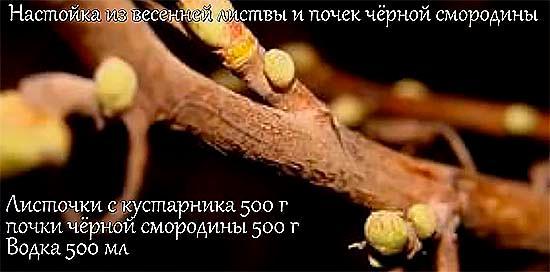 Настойка из весенней листвы и почек чёрной смородины