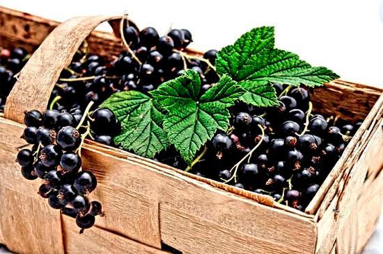 Урожай черных ягод